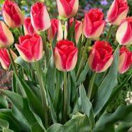 Tulip Triumph Lipgloss